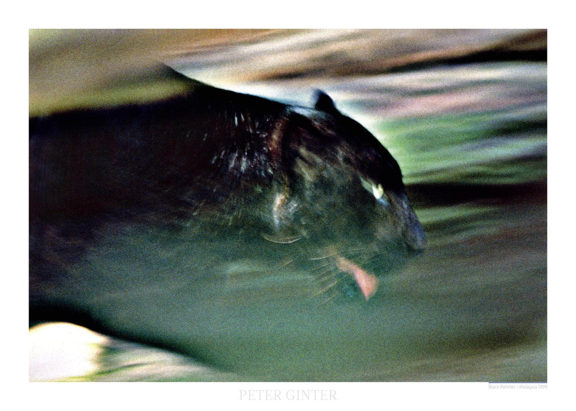 Black Panther / Malaysia 1999 © Peter Ginter