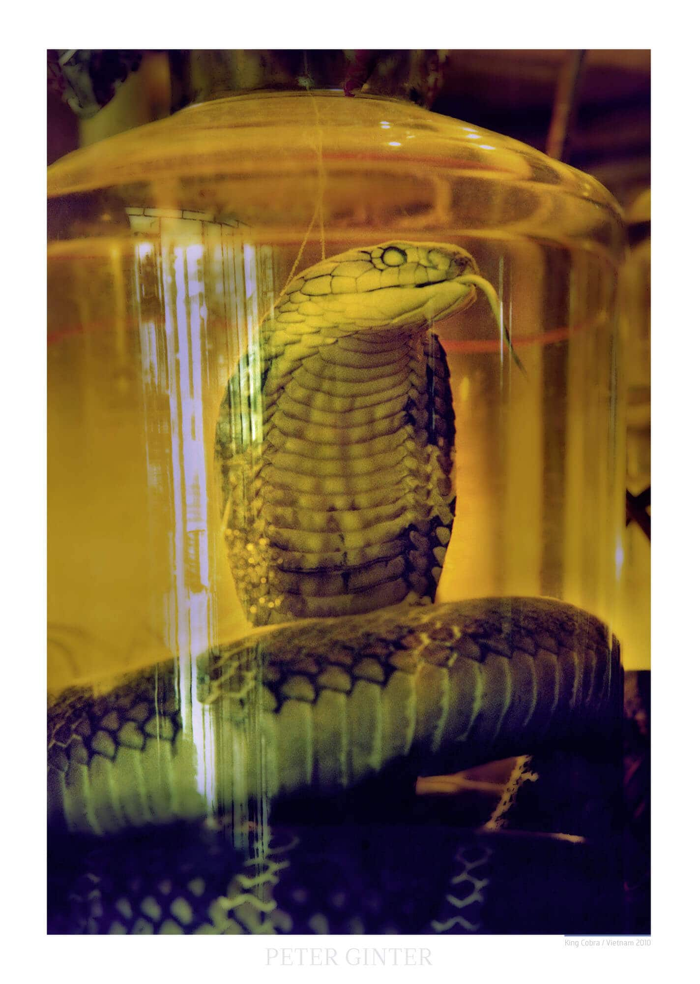 King Cobra / Vietnam 2010 © Peter Ginter