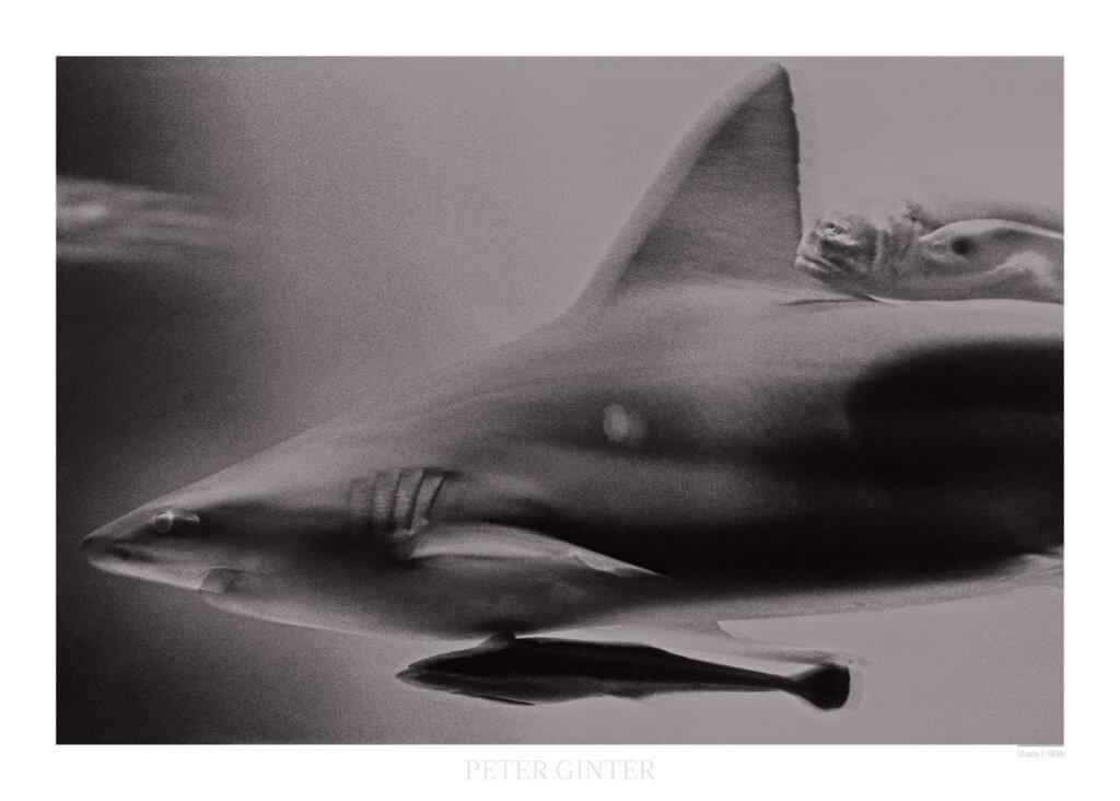 Shark / 1996 © Peter Ginter