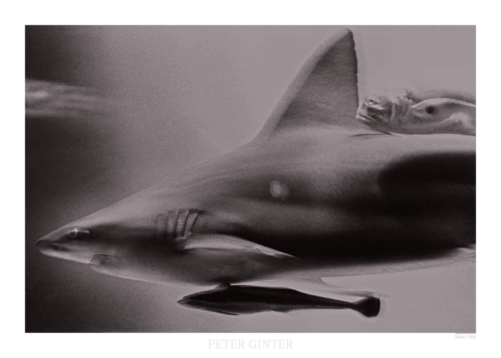 Shark / 1996 © Peter Ginter