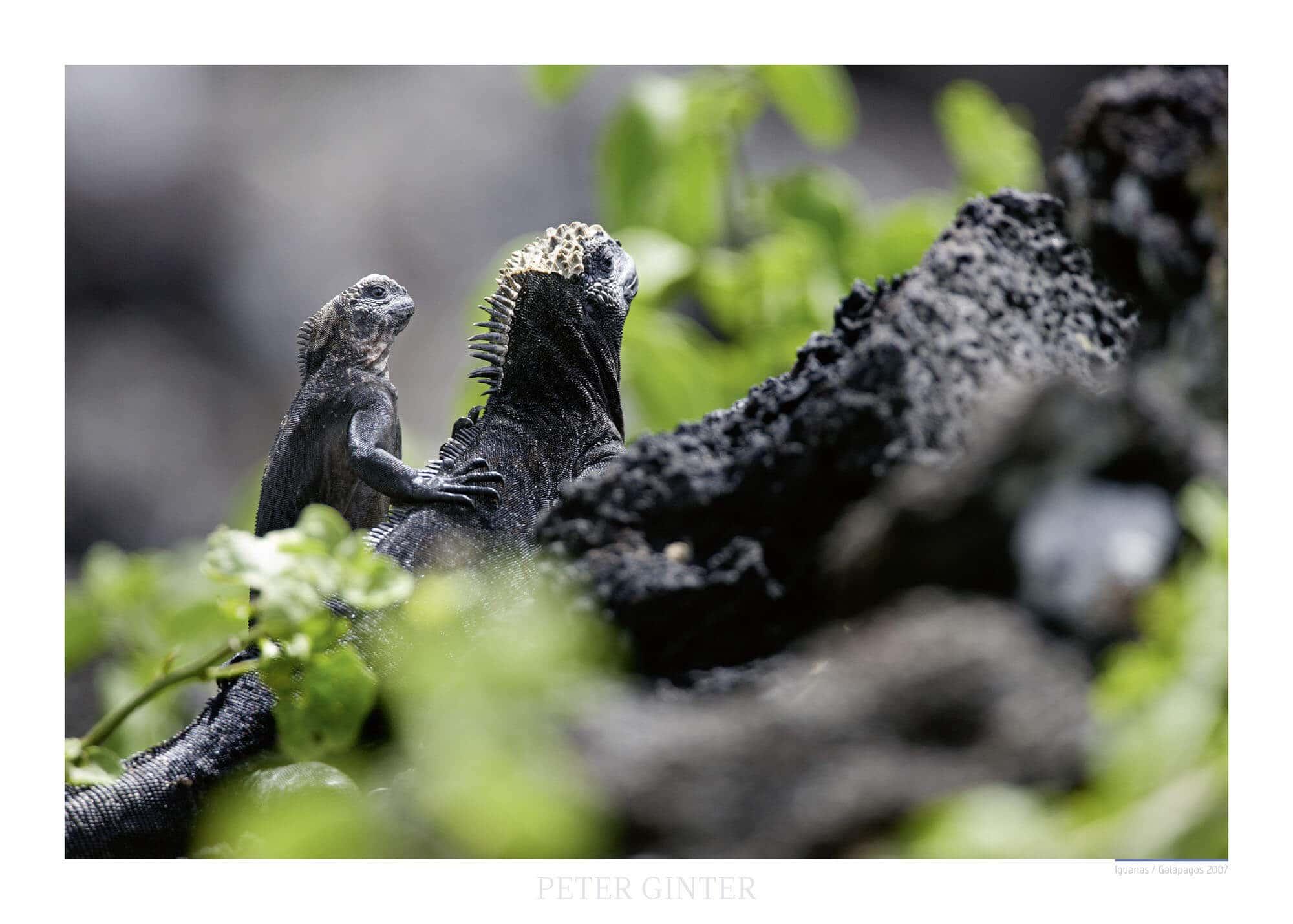 Iguanas / Galapagos 2007 © Peter Ginter